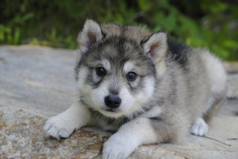 The gallery for --> Utonagan Puppies