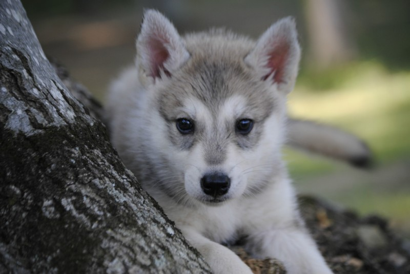 Tamaskan Dog Puppies | www.pixshark.com - Images Galleries ...